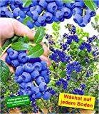 BALDUR-Garten Trauben-Heidelbeere