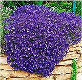 TOMASA Seedhouse- 100 Semillas de tomillo rastrero cubierta de tierra semilla fragante hierba perenne flor piedra hierba semilla de flor resistente perenne (#04)
