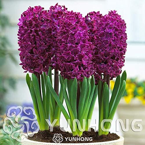 Green Seeds Co. Wahre Hyazinthe Glühbirnen, Wasserhyazinthe Blumenzwiebeln, mehrjährige Blumenzwiebeln, Bonsai Topf für Hausgarten Pflanzen – 1 Birne: 4