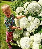 Yukio Samenhaus - Schneeball Hortensie 'Annabelle' winterhart mehrjährig Freiland-Hortensie Blumensamen Bauernhortensie Hydrangea macrophylla Gartenhortensien (20)