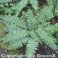 Brauns Schildfarn - Polystichum braunii von Baumschulen auf Du und dein Garten