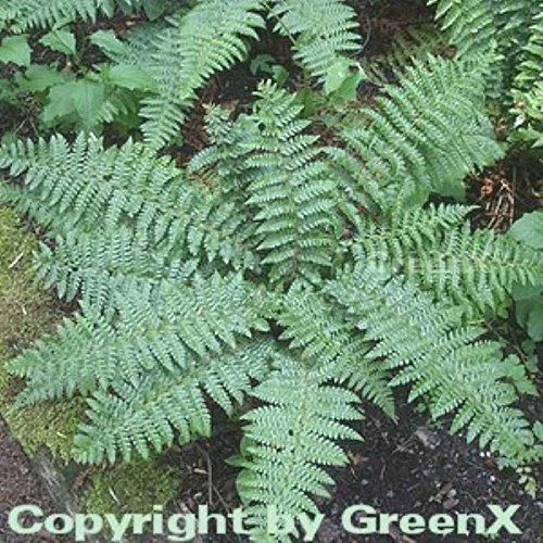 Brauns Schildfarn - Polystichum braunii