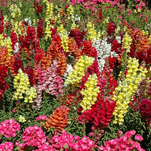 groseeds-annual-flowers-antirrhinum-cheerio-f2-fa-ant-01-450-seeds-minimum-per-packet