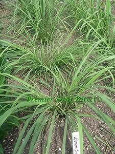 HERB - LEMON GRASS - EAST INDIAN - 250 FINEST SEEDS