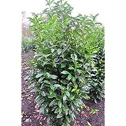 immergrüner Kirschlorbeer Prunus laurocerasus Genolia -R- 80 -100 cm hoch im 5 Liter Pflanzcontainer