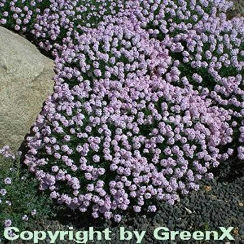 Großblumige Steintäschel - Aethionema grandiflorum