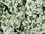 PinkdosePinkdose Blumensamen: Alyssum Snow Cloth '(Weiß) Blumensamen Seltenste Sorte Gartenhecke (18 Packete) Gartenpflanze Seeds By