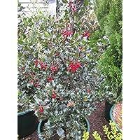 Suchergebnis Auf Amazonde Für Stechpalme Ilex Blumen Pflanzen