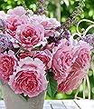 BALDUR-Garten Delbard Kletter-Rose Bienvenue® 1 Pflanze Duftrose von Baldur-Garten - Du und dein Garten