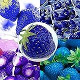 Keland Garten - Riesen Erdbeeren Obstsamen 50 Stück supersüß Extragroß wie Eier, Großfrüchtig aromatisch, geeignet für Ihr Garten, Balkon (50pcs Blau Super large)