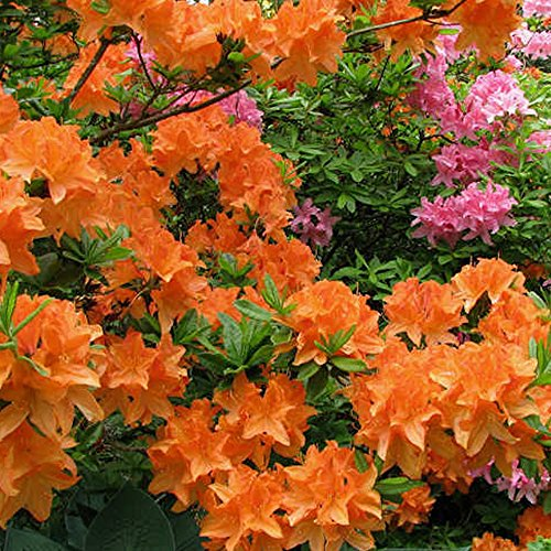 1-x-orange-azalea-japanese-evergreen-shrub-hardy-garden-plant-in-pot