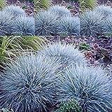 Portal Cool 100Pcs / Tasche Blau-Schwingel Gras Samen Stauden Töpfe Bonsai Samen Hausgarten-C5