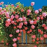 Keland Garten - Kletterrosen Samen winterhart mehrjährig 100pcs Rambler-Rose Rank- und Kletterpflanzen für Wände, Zäune, Fasaden,Rosenbögen und Pergolen (rosa 2)
