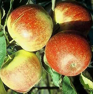 Apfelbaum Jonagold Winterapfel Tafelapfel Buschbaum 120-150 cm 7,5 L Topf auf M9