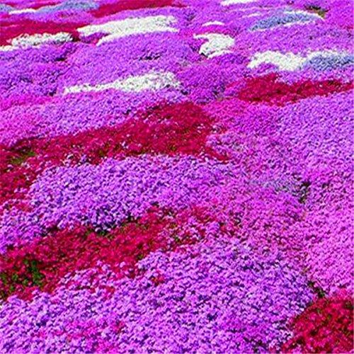 nuovo-impianto-di-arrivo-semi-phlox-four-seasons-semina-di-piante-bonsai-in-vaso-per-la-casa-giardin