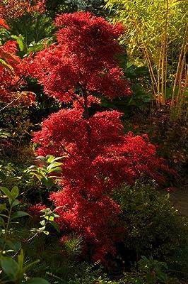 Roter Fächerahorn- Acer palmatum Shaina-Rot- Gesamthöhe: 50-70cm Topf: 3 ltr. von GardenPalms bei Du und dein Garten