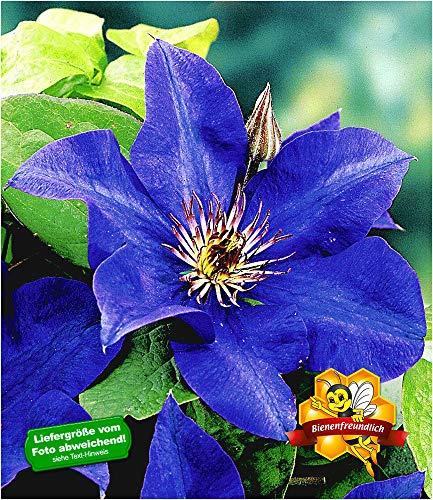 BALDUR-Garten Blaue Clematis \'The President\' Waldrebe winterhart, 1 Pflanze Klematis mehrjährige blühende Kletterpflanzen