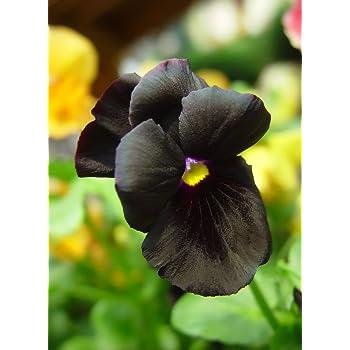 Stiefmütterchen Blacky 20 Samen , Viola Crystal Black
