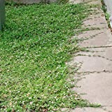 Anitra Perkins - Japan Grassamen begehbar Bodendecker Rasensamen Teppichverbene Summer Pearls Ziergras Saatgut immergrün robust Blumensamen winterhart mehrjährig (50)