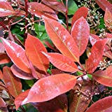 Photinia fraseri 'Red Robin' - 'Laurier' à feuilles rouges
