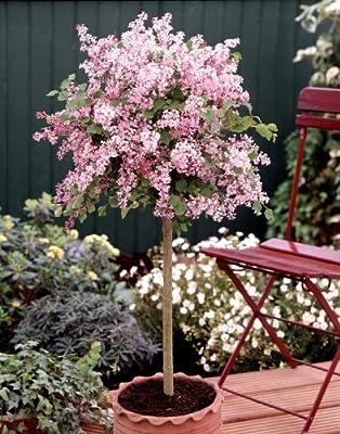 Flieder Palibin® als Stämmchen gezogen, rosa blühend, 1 Pflanze von Amazon.de Pflanzenservice bei Du und dein Garten