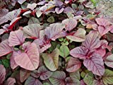 Amaranthus Tricolor, Chinese Spinach, Calaloo Red, 2.5g approx 3000 seeds, untreated
