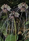 TROPICA - Fledermausblume (Tacca chanterii) - 15 Samen