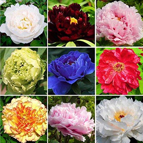 20pcs Graines de fleurs Pivoine rose jardin multicolore Fleurs vivaces en pot Rare Parfumée