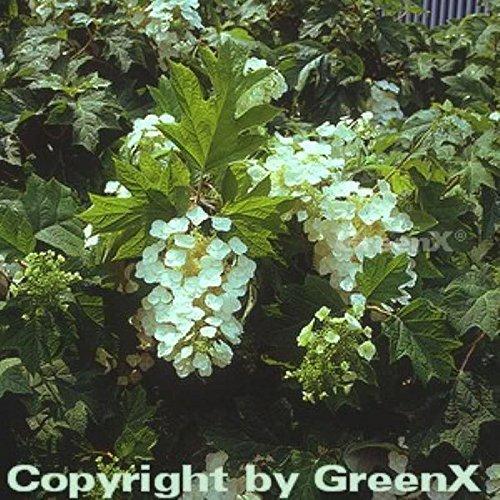 Eichenblättrige Hortensie 125-150cm – Hydrangea quercifolia