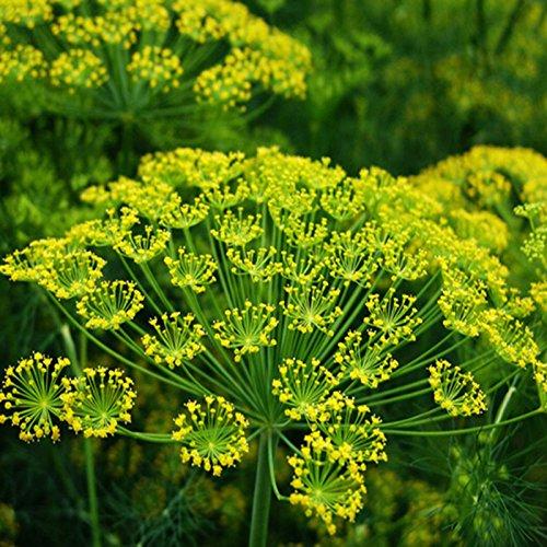ANETO 5.000 SEMI Anethum Graveolens pianta depurativa erba aromatica pietanze sottaceti (Energia Tisane)