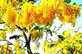 #7: Nema Wisteria Seeds - Golden Yellow -20 Pcs