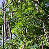 Moringa oleifera Wunderbaum Meerrettichbaum Pflanze