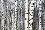 Posterlounge Leinwandbild 90 x 60 cm: Birkenwald im Winter von Editors Choice - fertiges Wandbild, Bild auf Keilrahmen, Fertigbild auf echter Leinwand, Leinwanddruck