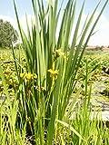 Mühlan - 6 Töpfe Teichpflanzen für den Gartenteich