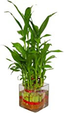 SMZ Brandlines Lucky Bamboo 2 Layer Plant with Beautiful Square Glass Pot and Coloured Jelly Balls