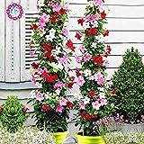 Pinkdose 100pcs / bag Climbing Mandevilla sanderi, Dipladenia sanderi, piante bonsai del fiore per la decorazione domestica & amp; pentola muro del cortile: 1