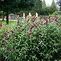 Schmetterlingsflieder Variante von Garten Schlüter bei Du und dein Garten