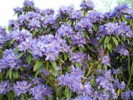 Zwerg Rhododendron russatum Gletschernacht 30-40 cm hoch im 4 Liter Pflanzcontainer