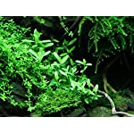 Tropica Bacopa compact Live Aquarium Plant - EU Grown & Shrimp Safe 8