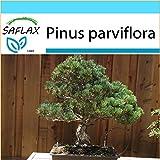 SAFLAX - Set regalo - Pino blanco japonés - 12 semillas - Pinus parviflora