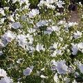 lichtnelke - Moschus-Malve (Malva moschata) weiss von Lichtnelke Pflanzenversand bei Du und dein Garten