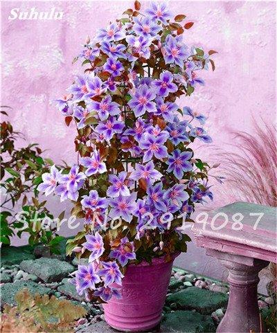 Rare Clematis Graines de fleurs clématite Vignes Fleurs Bonsai Fleurs vivaces Plantes grimpantes Clematis Pour la maison Jardin 100 Pcs 11