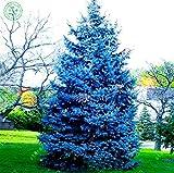 seltene Samen Blätter fort blauen Samen Colorado Fichte PICEA PUNGENS GLAUCA gut für in Töpfen 50pcs f35 wächst