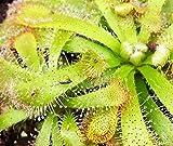 Sonnentau - Drosera Aliciae - aufregende Fleischfressende Pflanze