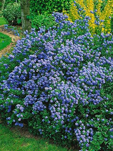 Qulista Samenhaus - Raritäten Blau Kriechende Säckelblume Ceanothus Yankee Point immergrün Blumensamen Strauch Saatgut winterhart mehrjährig