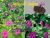 45x Mirabilis Jalapa Lilas Chambre Jardin Graines Frais Graines De Fleurs Plant Rare Semences Nouveauté #45