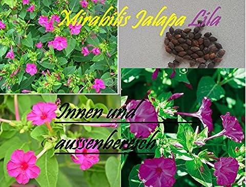 45x Mirabilis Jalapa Lila Zimmer Garten Frische Samen Blumensamen Pflanze Selten Saatgut Neuheit #45