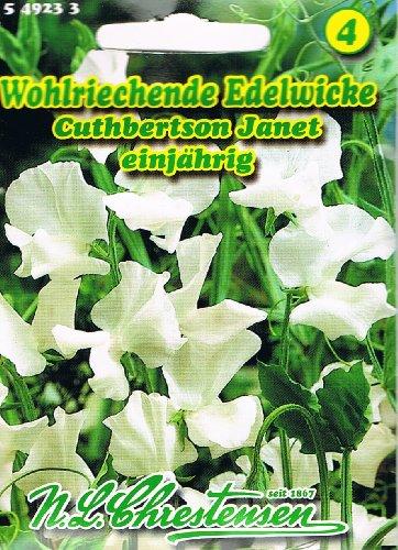 Wohlriechende Edelwicke Cuthbertson Janet weiß Lathyrus odoratus Wicke rankend