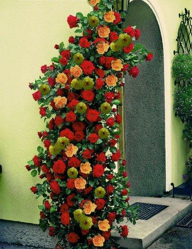 Kletterrosen, 3er Set, 1x rot- 1x rosa + 1x gelbblühend, im Topf gepflanzt