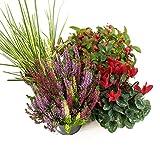 Herbst Blumenset Nr.3 Calluna vulgaris Trios Milka, Alpenveilchen, Scheinbeere & Gras grün/weiss